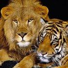 Лев – Тигр характеристика