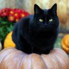Что значит, если черный кот (кошка) на дороге встретился?