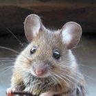 Самые верные народные приметы про мышей